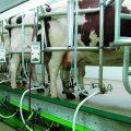 Reducir el miedo aumenta la producción de leche