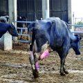 Minimicemos  el edema de la ubre en bovinos para obtener una mejor producción y calidad de leche