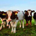 Complejo respiratorio bovino (CBR)