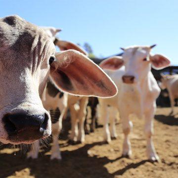 México: detectan ganado con tuberculosis