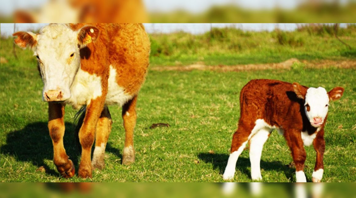 Las enfermedades que se generan posterior al parto de bovinos