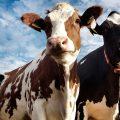 Reino Unido conecta vacas con Internet 5G para pastoreo