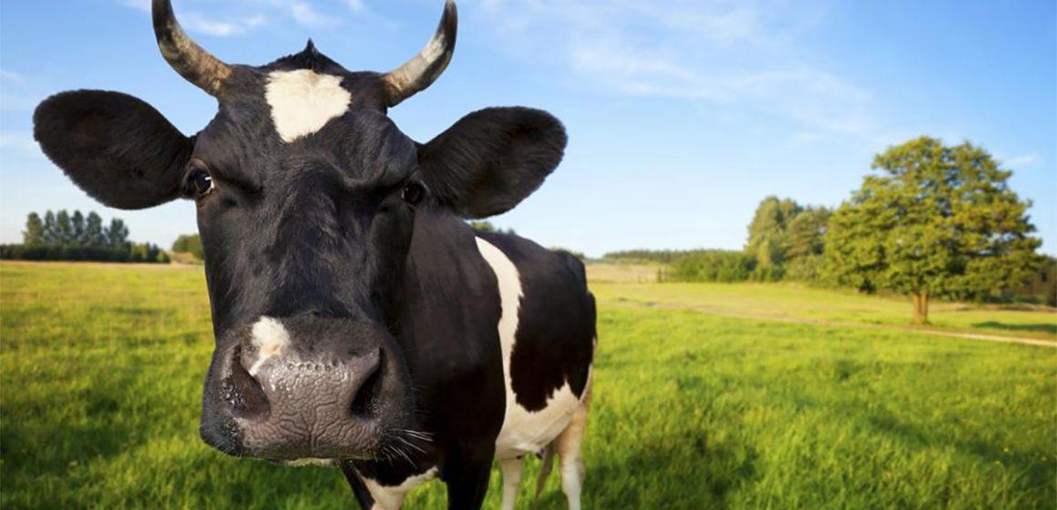 ¿La vaca daña nuestro medioambiente?