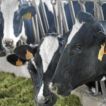 Suiza afirma que el problema de su industria ganadera se debe a que sus vacas son demasiado grandes
