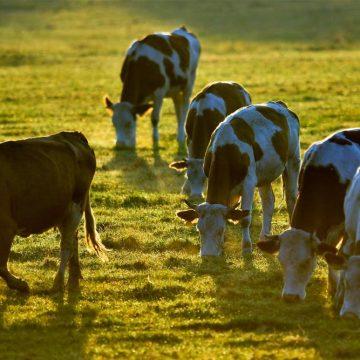 Argentina presentó una caída en la faena de bovinos hembra