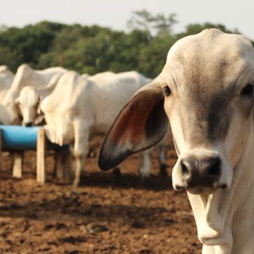 Aumenta a $700 el precio del ganado en Colombia