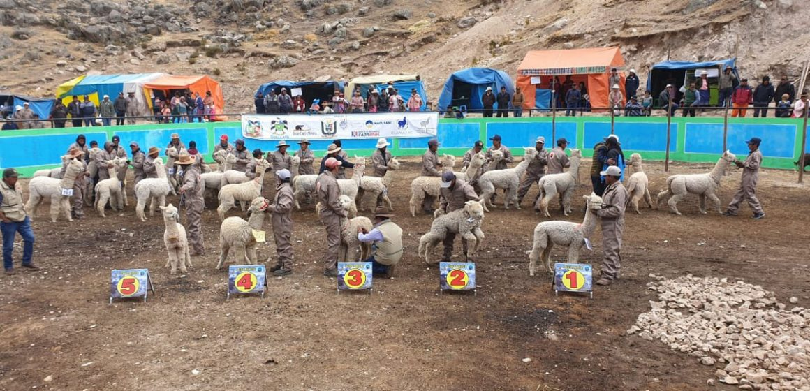 Expo Paqocha: feria congregó a 1800 camélidos