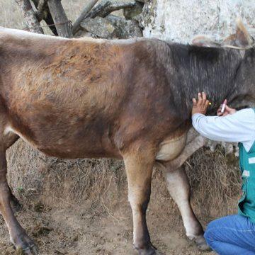 Evalúan ganado para descartar brucelosis en Arequipa