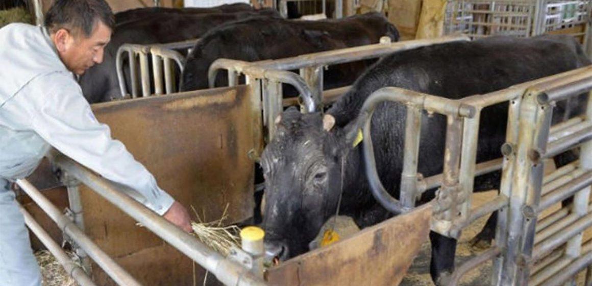 Falleció la primera vaca clonada de la historia