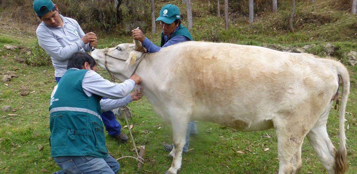 Apurímac: evalúan ganado bovino para descartar brucelosis