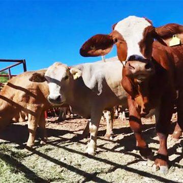 Venezuela: cuentan con manual para impulsar sector ganadero