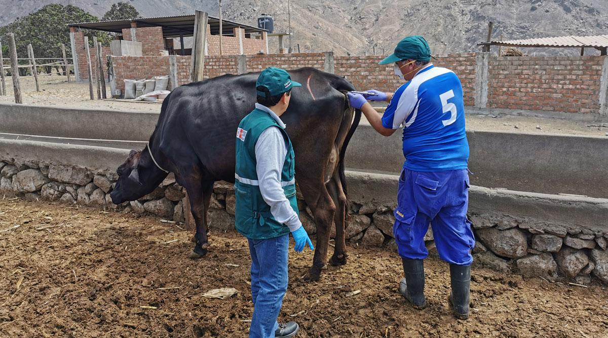 Inician diagnóstico de tuberculosis bovina en La Libertad