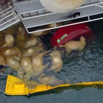 Miles de ovejas mueren ahogadas en Mar Negro