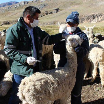 Plan sanitario de camélidos inició en Puno
