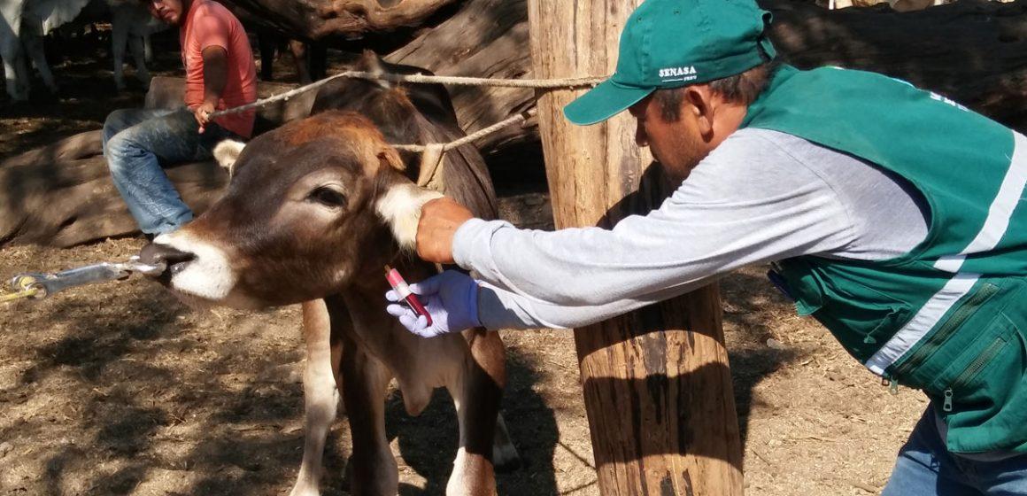 Senasa monitorea ganado bovino para descartar enfermedades