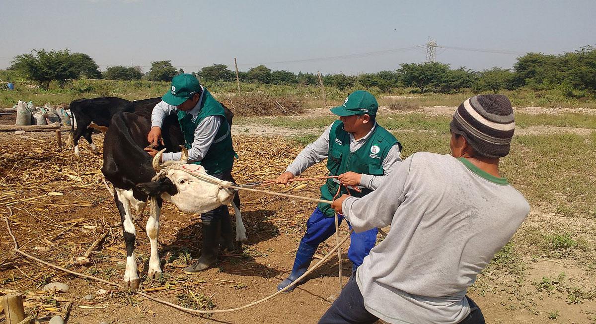 Minagri vacuna 45 mil bovinos contra ántrax y carbunco