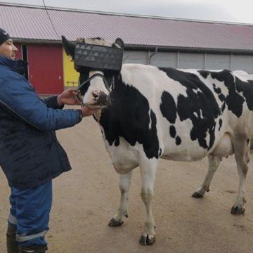 Realidad virtual apunta a mejorar producción lechera de vacas