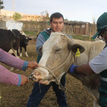 Campaña previno carbunco sintomático en Moquegua