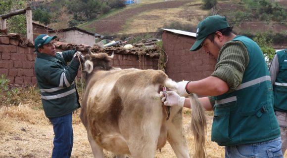 Evalúan bovinos para descartar brucelosis en Cusco