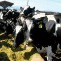 Resistencia a la insulina en vacas lecheras