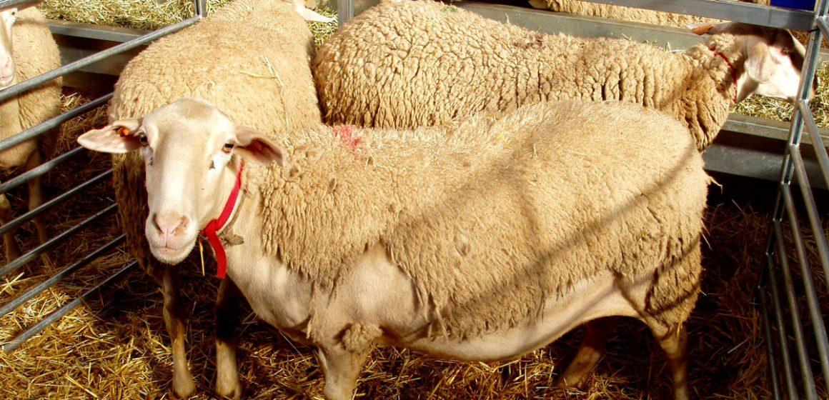 Exploran alternativas a tratamientos hormonales en ganado ovino