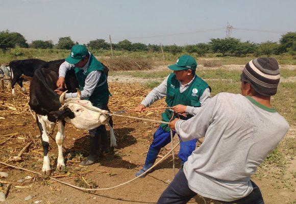 Minagri protegió ganado contra el ántrax en Tacna