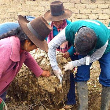 Minagri atiende ganado en Tacna ante huaycos