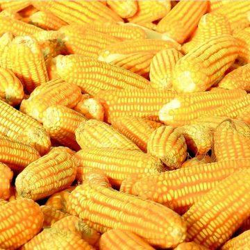 México rompió récord en compras de maíz amarillo