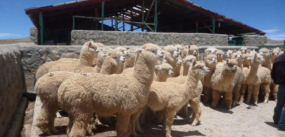 Minagri implementó 88 cobertizos para ganado