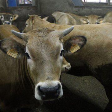 Registrarán bovinos en beneficio del consumidor en Puno