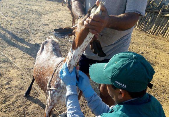 Campaña sanitaria resguarda ganado caprino en Huancavelica