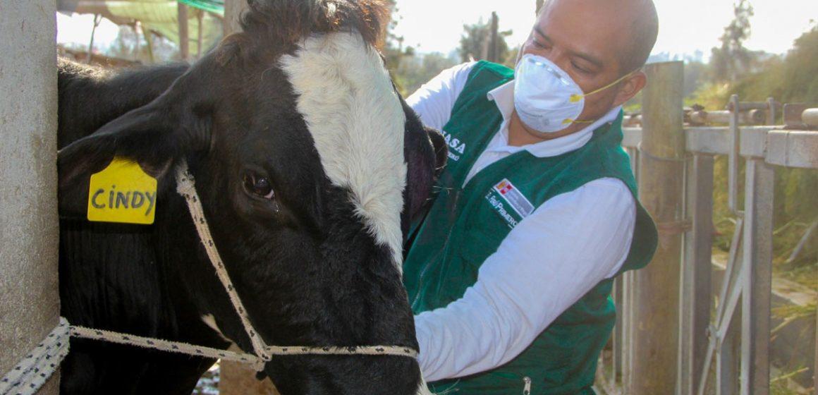 Inició campaña contra ántrax en el ganado