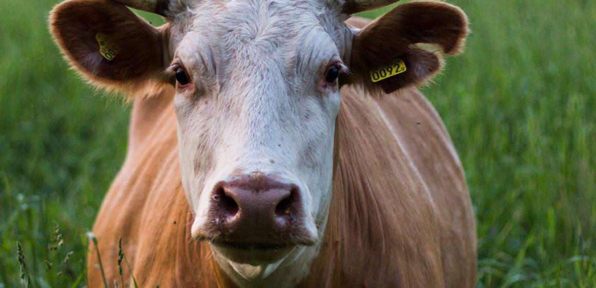 Sector ganadero en el Perú garantizará disponibilidad de carne en mercados