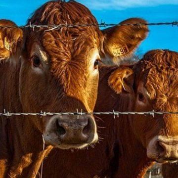 Producción de vacuno caería y la de cerdos crecería en la UE