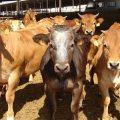 España: industria ganadera se hunde por COVID-19