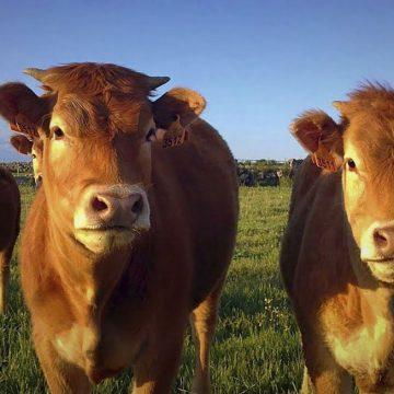 Paraguay: frigoríficos condicionan libre comercio de ganado