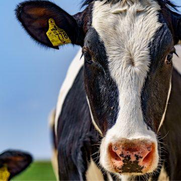 Argentina: exportaciones de carne de res caen un 36,5%