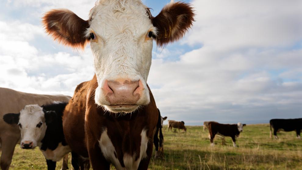 Unión Europea: producción de carne de res bajará debido al COVID-19