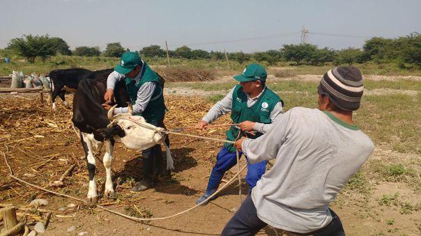 Piura: ganaderos exigen reapertura de canal de irrigación de agua para el ganado