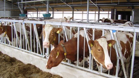 Virus de la leucosis enzoótica bovina: una amenaza silenciosa para la ganadería lechera del país