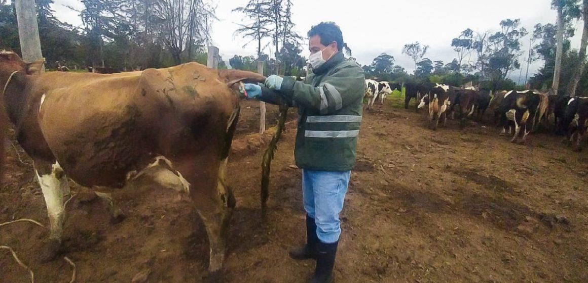 Más de mil hatos libres de Brucelosis y Tuberculosis bovina en cuencas lecheras de Cajamarca