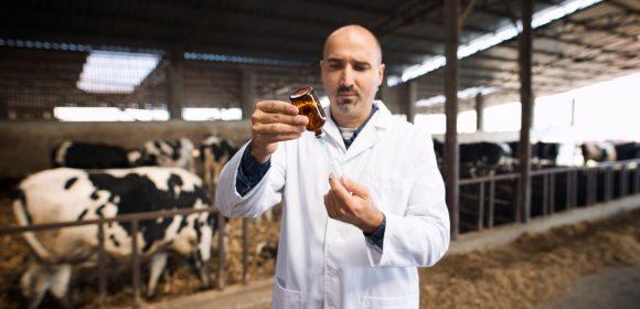 Vacas podrían ayudar en el tratamiento contra Covid-19