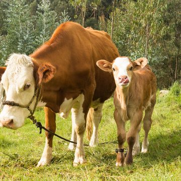 Cajamarca: MINAGRI anuncia identificación masiva del ganado vacuno