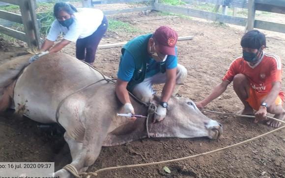 MINAGRI reanuda actividades de mejoramiento de ganado vacuno en región Ucayali