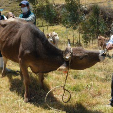 Ancash: MINAGRI realiza monitoreo serológico para descarte de Brucelosis bovina