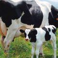 Buenas prácticas en el manejo alimenticio de la vaca en transición