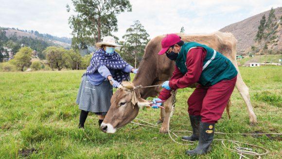 Aretado de ganado bovino en beneficio de la ganadería familiar de Cajamarca