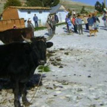 Desbordes y nevadas afectan ganadería en Cusco