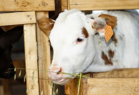 Sistema de aretado codificado logró importantes avances para la ganadería en Cajamarca