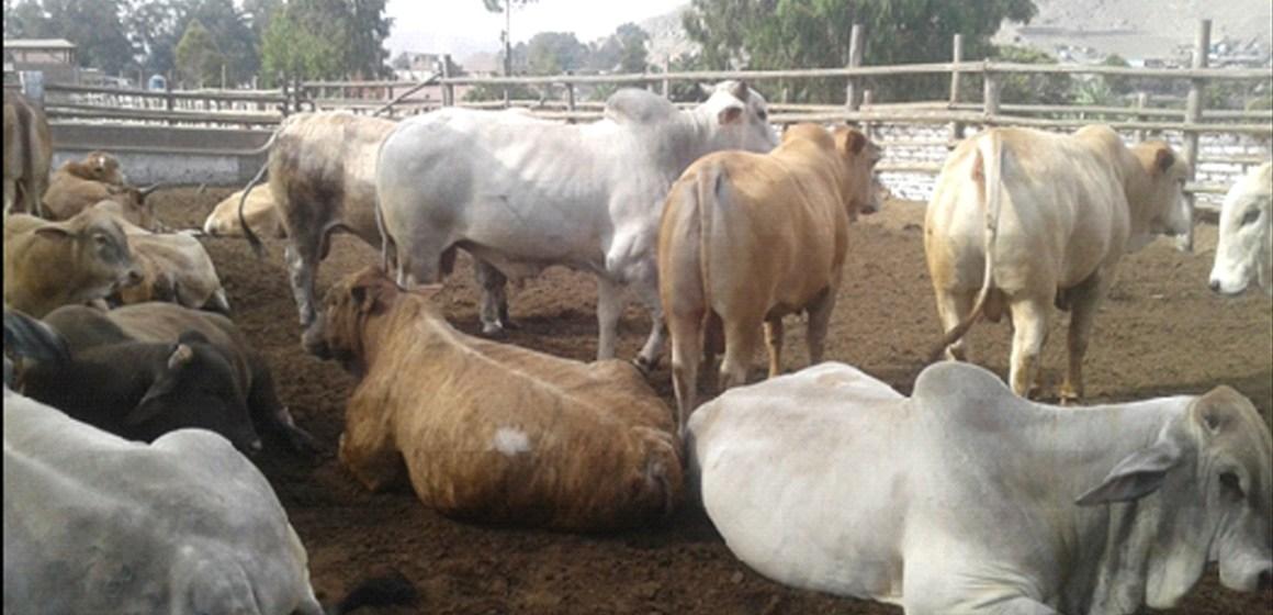 Producción de carne bovina (feedlot) y su estrecha relación con el sistema de manejo en la productividad